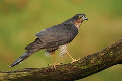366 - Image 012 - Mrs Sparrowhawk... (Gary Neville) Tags: 366 366images 7th365 photoaday sony sonya7iii a7iii a7m3 garyneville