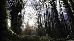 Un avant-goût de printemps (Un jour en France) Tags: canoneos6dmarkii canonef1635mmf28liiusm sun soleil printemps hiver forêt cielpaysage nature landscape contrejour