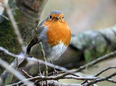 Robin (eric robb niven) Tags: ericrobbniven scotland dundee robin wildlife wildbird nature springwatch