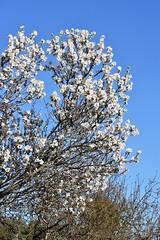 El primer almendro en flor (esta_ahi) Tags: castellvídelamarca flor flores floración flora árbol árboles prunusdulcis prunusamygdalus rosaceae ametller almendro almondtree penedès barcelona spain españa испания