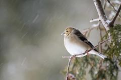 American Goldfinch (Roger Daigle) Tags: birds snowing goldfinch nikon