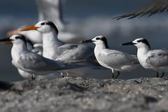 Sandwich Tern (Little Frieda) Tags: florida leeco tern