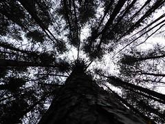 Tallest Trees (fduikkbs1) Tags: tree trees nature sky leaves bark tall