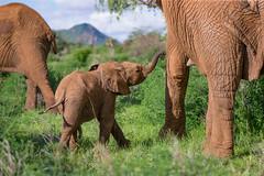 "Keeping Abreast of Things  38W2379 (Dr DAD (Daniel A D'Auria MD)) Tags: elephants africanelephants bushelephants africa kenya amboseli amboselinationalpark tanzania serengeti maasaimara mara mammals wildlife ""largestanimal"" ""largestmammal"" wildlifephotography awardwinning danielad'auriamd"" ""drdadbooks"" ""children'swildlifebooksbydanield'auria"" ""danield'auria"" ""november2019"""