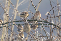 Linnet (Dougie Edmond) Tags: southayrshire scotland unitedkingdom bird nature wildlife