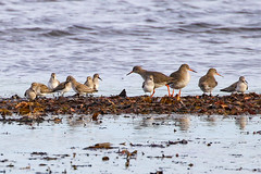 Redshank / Dunlin (Dougie Edmond) Tags: scotland southayrshire bird nature unitedkingdom wildlife
