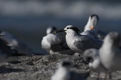 Sandwich Tern (Little Frieda) Tags: tern leeco florida