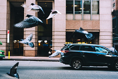 Untitled (reinfected) Tags: new york city pigeon pigeons car street building flying fly