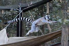ring-tailed lemur (SolitaryFiatist7221) Tags: nikon d7200 nikkor afp dx 70300mm