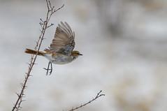 Mariqua Flycatcher (chlorophonia) Tags: birds animals vertebrates muscicapidae mariquaflycatcher animalia bradornismariquensis oldworldflycatchers oshikotoregion namibia