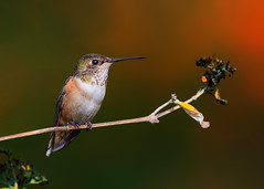 A Young One! (Patricia Ware) Tags: allenshummingbird california canon ef400mmf4doisiiusmlens handheld kennethhahnrecreationalarea losangeles perched selasphorussasin ©2020patriciawareallrightsreserved specanimal