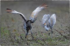 Crane dance (RKop) Tags: ewingbottoms indiana raphaelkopanphotography nikon nature birds d500 600mmf4evr