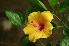 yellow hibiscus (the foreign photographer - ฝรั่งถ่) Tags: yellow hibiscus flower bangkhen bangkok thailand canon