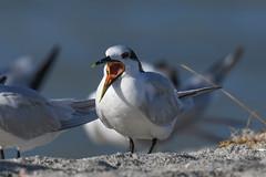 Sandwich Tern (Little Frieda) Tags: florida tern leeco
