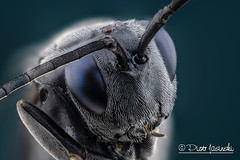 Blue eyed black wasp - Evaniidae (Karlgoro1) Tags: canon macro photo mpe 65mm f28 eye eyes zerene stacker insect focus stack closeup bug macrolife animal background sony alpha a6300 mirrorless digital camera ilce6300 blue eyed black wasp evaniidae