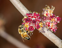 Honeybee on a Maple Bud (ScreaminScott) Tags: maolebud honeybee