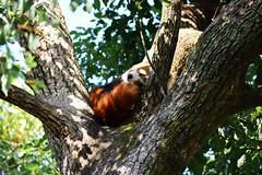 Sleeping lesser panda (SolitaryFiatist7221) Tags: nikon d7200 nikkor afp dx 70300mm lesserpanda