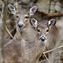 White-tailed deer (Mary Sonis) Tags: