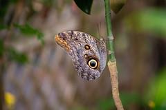 Giant Owl Butterfly (Caligo eurilochus) Close-up (phantomphotographyuk) Tags: giant owl butterfly caligo eurilochus close macro isle wight