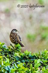 Little Goldie (katejbrown photography) Tags: bird chainoflakes goldengatepark goldencrowned katejbrown nature northlake sparrow wildlife