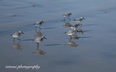 Birds running (iatassi) Tags: birds beach california californiadreaming nature southerncalifornia usa wildlife iatassi iatassiphoto copyright