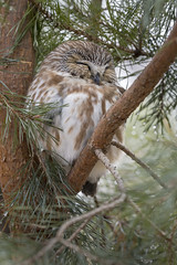 Saw-whet (ayres_leigh) Tags: bird owl sawwhet canon 90d whitby ontario nature sleeping wildlife pinetree birdofprey animal wild