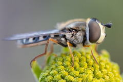 Hoverfly (gatorlink) Tags: canoneosrp nature raynoxdcr250 mountains forest canyons southerncalifornia riverside sanbernardino berlebach wooden mini tripod insects arthropods bugs macro photography wildlife canonmpe65mmf2815xmacrophoto zerenestacker
