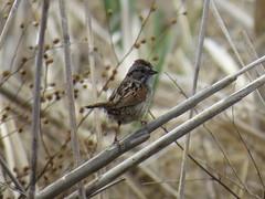 Song Sparrow by SpeedyJR (SpeedyJR) Tags: ©2019janicerodriguez beverlyshoresin songsparrow sparrows birds wildlife nature beverlyshoresindiana indiana speedyjr