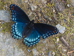 Red Spotted Purple (Bernie Kasper (6 million views)) Tags: art berniekasper butterfly blue butterflies bugs bug color colour d750 family fun gsmnp greatsmokymountainnationalpark greatsmokymountains hiking insect insects light love macro nature nikon naturephotography new national nikkor outdoors outdoor old outside photography park photos raw red redspottedpurple spring sigma travel tree tennesse unitedstates usa wings