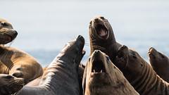No argue (Reynaud Geoffrey) Tags: nature wildlife wild animal feeding feed grateful no bait canada arctic winter kayak steller sea lion ocean british columbia