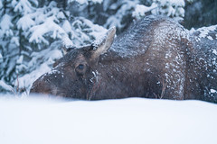 Under the snow (Reynaud Geoffrey) Tags: nature wildlife wild animal feeding feed grateful bait canada arctic winter moose