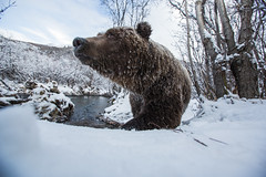 Ice Bear (Reynaud Geoffrey) Tags: nature wildlife wild animal feeding feed grateful canada arctic winter salmon bear frozen ice chum fur wide unique late mammal