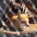 20200112 [maymont] fox being a fox