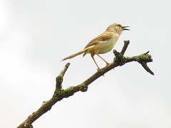 Tawny-flanked Prinia  /  Bruinsylangstertjie (Pixi2011) Tags: birds rietvleinaturereserve southafrica africa wildbirds nature