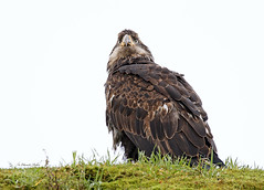 Immature Bald Eagle  (full frame) (in Explore 13/01/2020) (ChasingNature) Tags: raptor bird grass trees immature baldeagle raining overcastsky defusedlight vancouver island bc beak vancouverislandcanada britishcolumbiawildlife