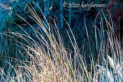 Grasses (katejbrown photography) Tags: chainoflakes goldengatepark katejbrown light nature northlake reeds