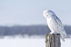 Morning Prayer - Snowy Owl (CJ Burnell) Tags: minesing snowyowl bird birder birdwatcher birdwatching discoverontario travelontario yourstodiscover canadianphotographer cjbphotography instagramcjbphotography1 torontophotographer views birdphotography snow nobaiting