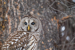 Barred (Reynaud Geoffrey) Tags: nature wildlife wild animal feeding feed grateful bait canada arctic winter bird barred owl eye