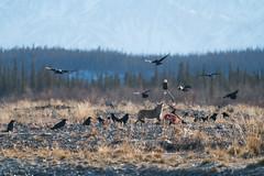 Lunch is ready (Reynaud Geoffrey) Tags: nature wildlife wild animal feeding feed grateful no bait canada arctic winter kayak