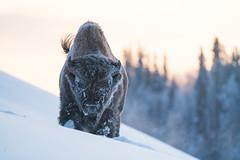 Wood bison (Reynaud Geoffrey) Tags: nature wildlife wild animal grateful canada arctic winter wood bison big mammal