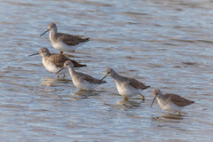 Cooperative Feeding (tresed47) Tags: 2020 202001jan 20200106bombayhookbirds birds bombayhook canon7dmkii content delaware folder greateryellowlegs january peterscamera petersphotos places season shorebirds takenby us winter yellowlegs
