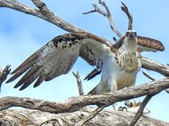 Osprey with Fish (AdamsWife) Tags: westernaustralia osprey raptor bird birdwatcher birdwatching birdofprey fish fishing tree