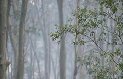 Still smoky (OzzRod) Tags: pentax k3 smcpentaxda50135mmf28 bushfire smoke haze blue forest nswfarsouthcoast