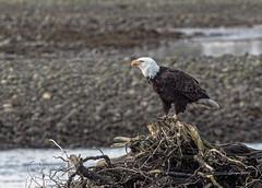 Bald Eagle - Qualicum (Photos_By George) Tags: