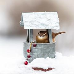 Make a Wish (dshoning) Tags: 52weeksof2020 bird carolinawren snow winter wishingwell berries creative iowa