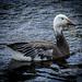 Snow Goose in Tampa  [explored]