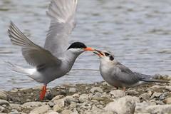 0F5A7573 (2) (Steve Attwood) Tags: steveattwood auldwoodphotography newzealand bird nature wildlife ashleyestuary blackfrontedtern tern tarapiroe tarapirohe chlidoniasalbostriatus fledgling