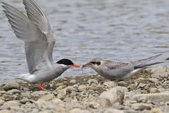0F5A7566 (2) (Steve Attwood) Tags: steveattwood auldwoodphotography newzealand bird nature wildlife ashleyestuary blackfrontedtern tern tarapiroe tarapirohe chlidoniasalbostriatus fledgling