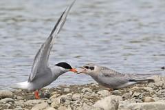 0F5A7565 (2) (Steve Attwood) Tags: steveattwood auldwoodphotography newzealand bird nature wildlife ashleyestuary blackfrontedtern tern tarapiroe tarapirohe chlidoniasalbostriatus fledgling