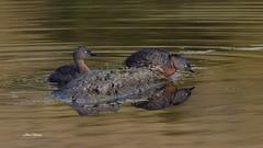 NZ Dabchick -  Being intense! (njohn209) Tags: birds d500 nikon nz